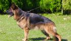 シェパード種牡犬