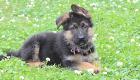 シェパード子犬販売